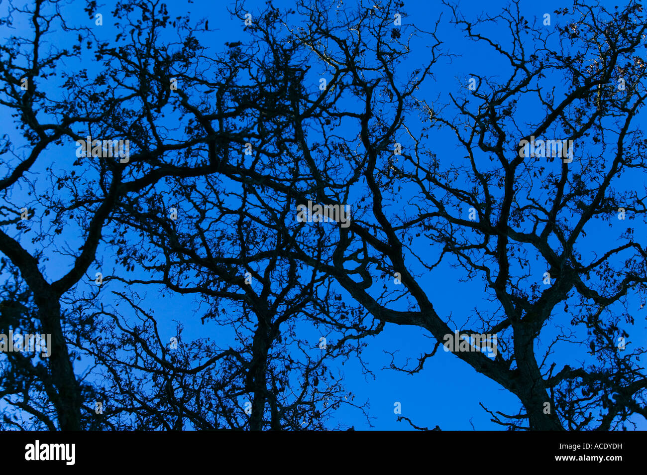 Oak Tree Branches against Blue Sky - Stock Image