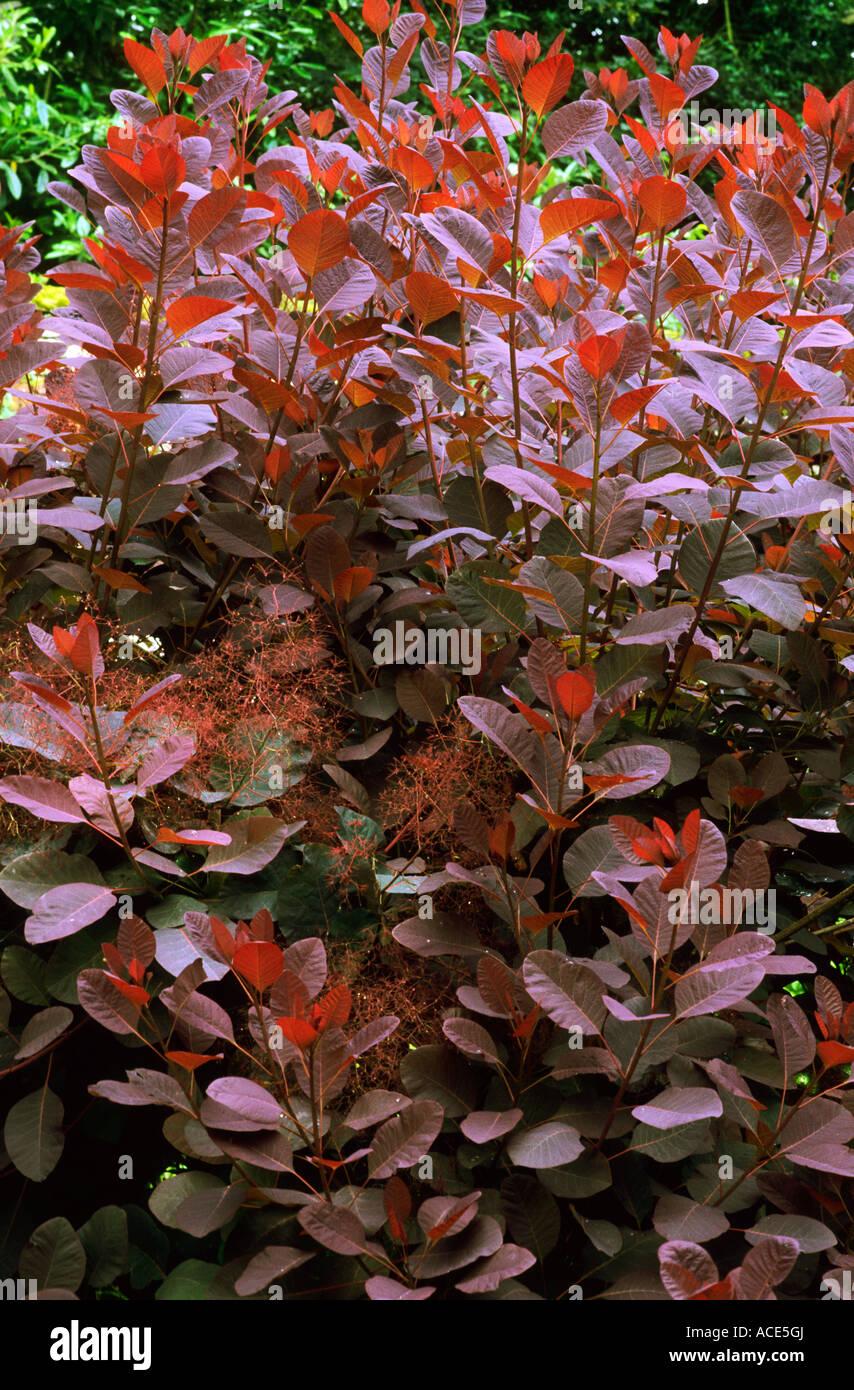 Cotinus \'Grace\', whole tree, dark purple foliage, garden plant ...