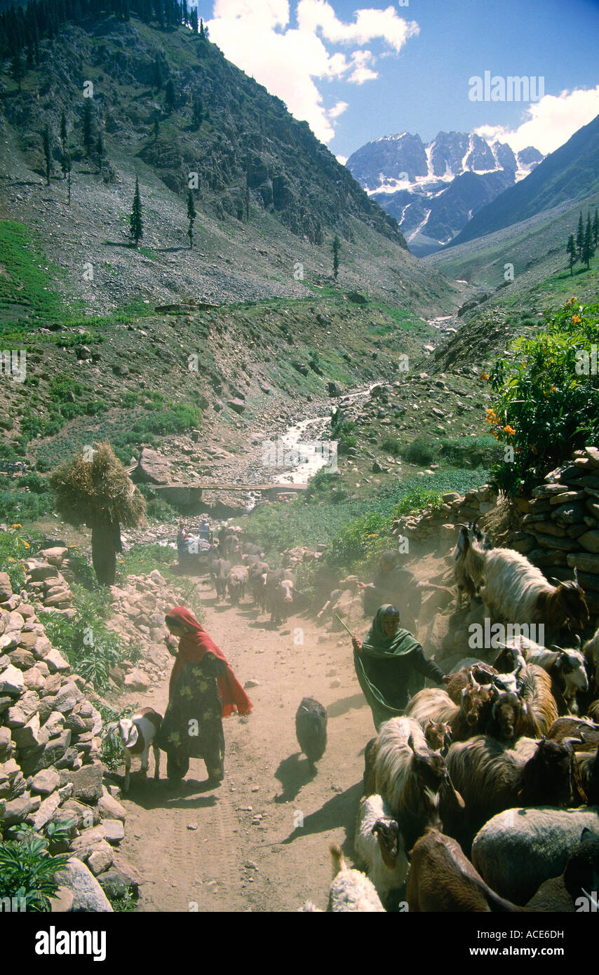 flock of goats chitral valley pakistan - Stock Image