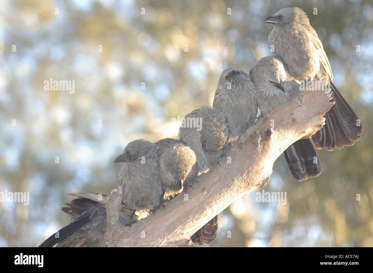 Flock of Apostlebirds - Stock Image