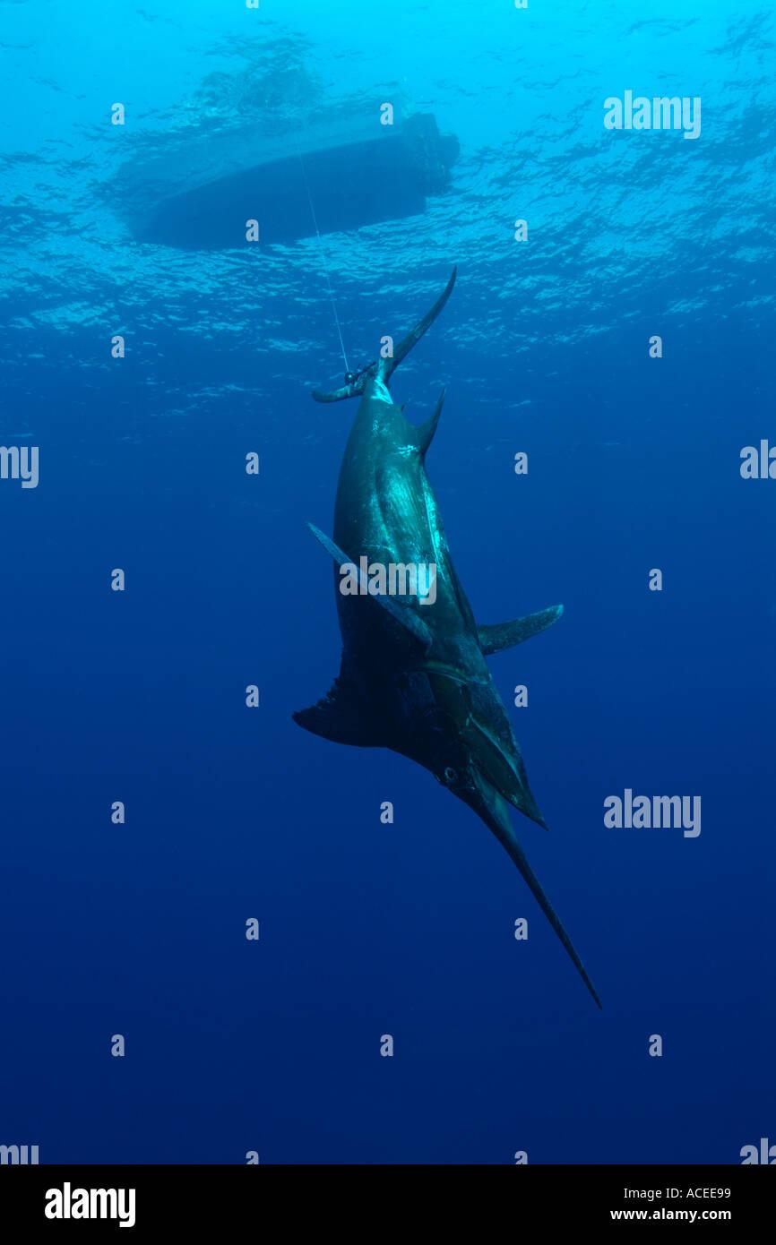 Photo nk0732 D Blue Marlin caught fishing. Now dead. Makaira nigricans Photo Copyright Brandon Cole - Stock Image