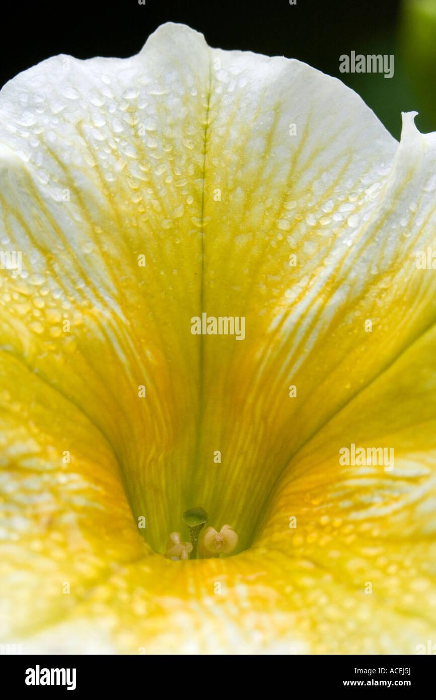 white-yellow petunia - petunia - Stock Image