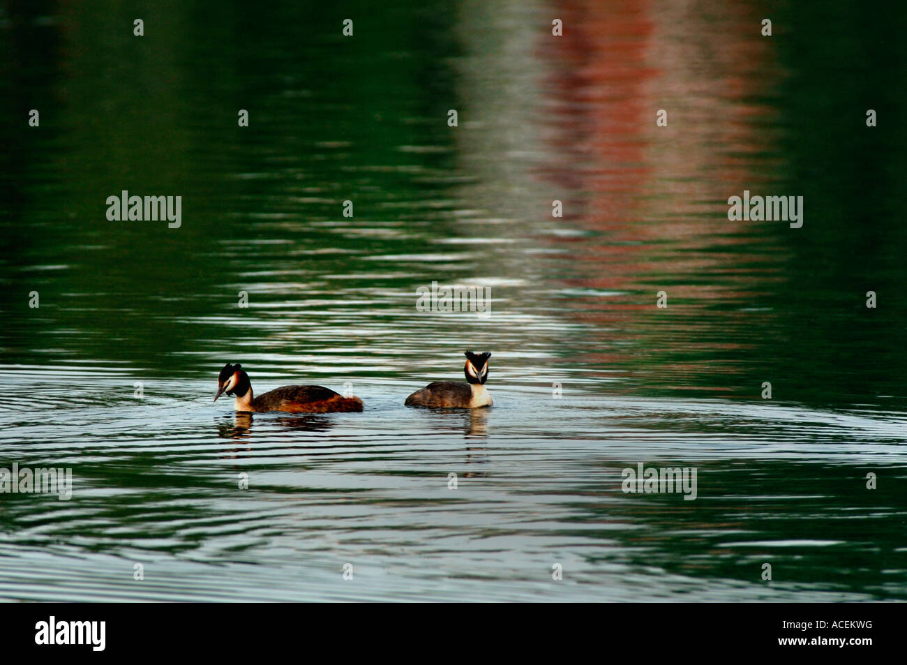 A Pair Of Great Crested Grebes.(Podiceps cristatus). - Stock Image