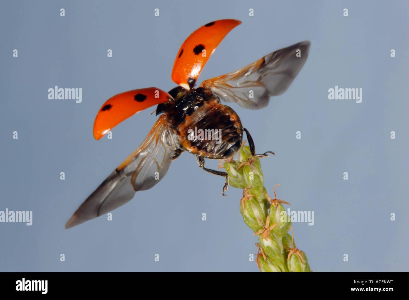 Sevenspotted lady beetle Coccinella septempunctata - Stock Image