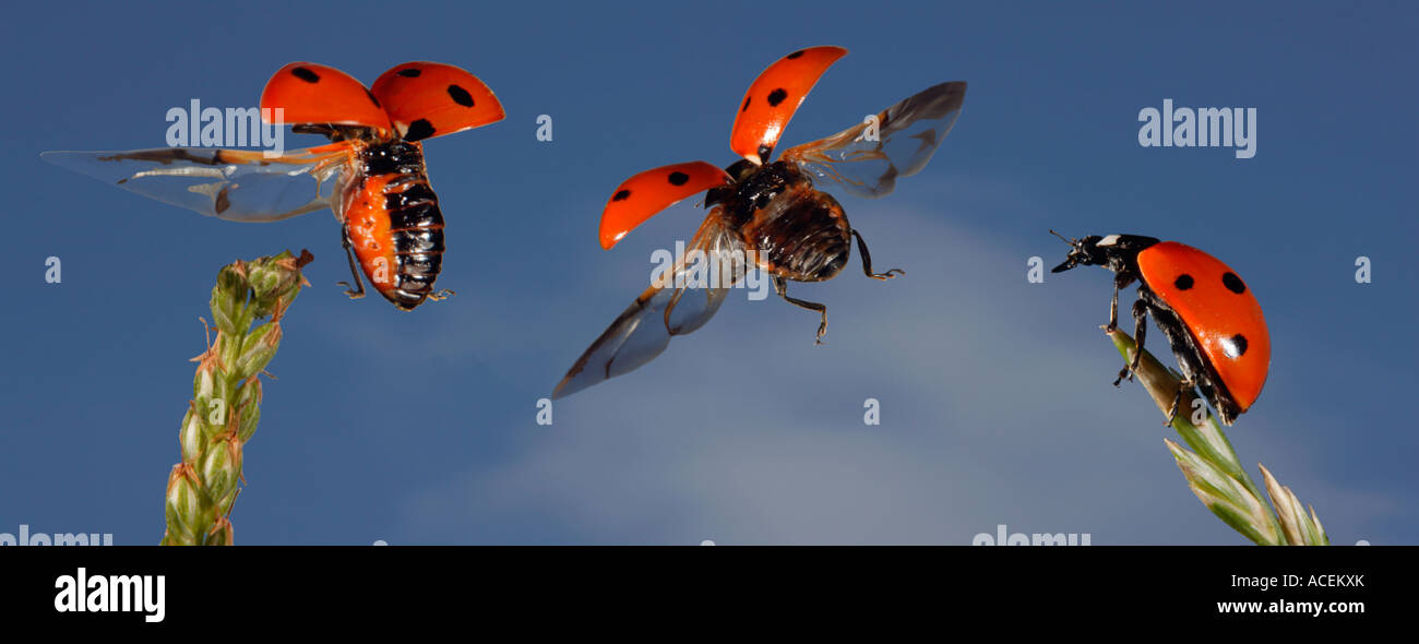 Sevenspotted lady beetle Coccinella septempunctata strobo photo - Stock Image