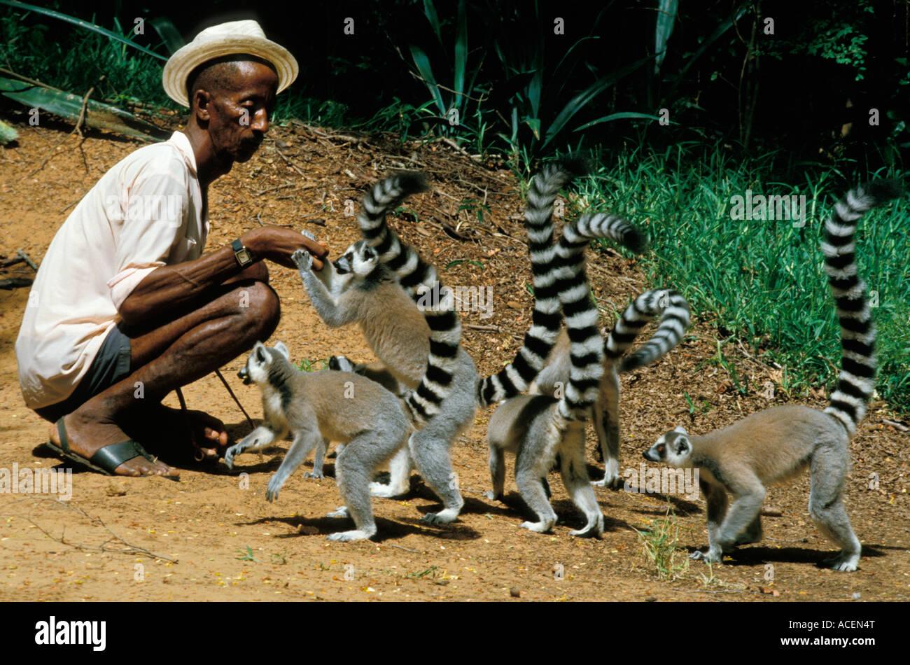 Maki catta lemur catta Madagascar - Stock Image