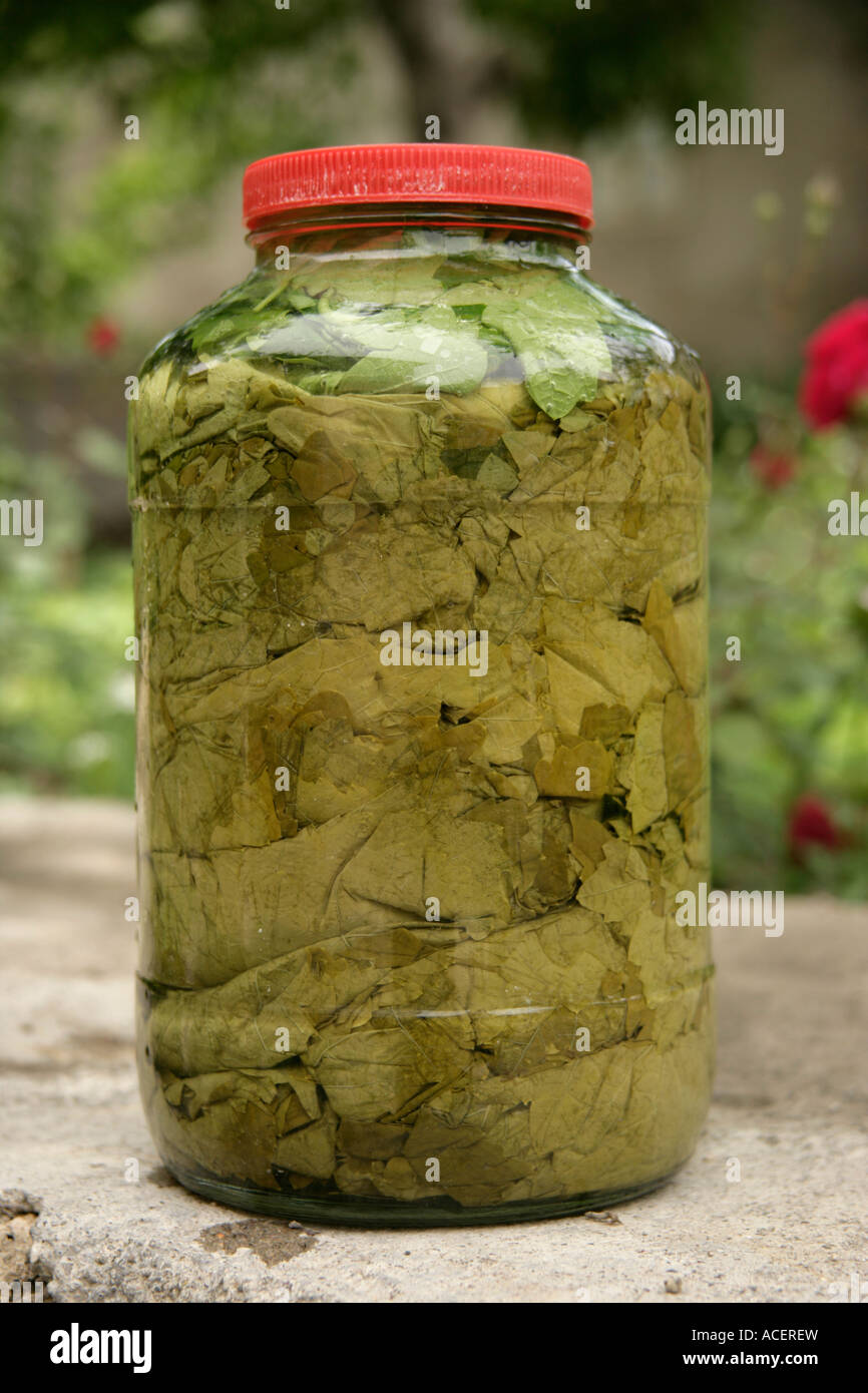 Pickled Grape Vine Leaves For Making Dolma In A Jar Turkey Stock Photo Alamy