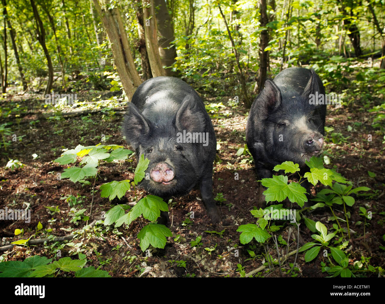 Berkshire breed pigs roaming in a woodland enclosure Yorkshire UK - Stock Image