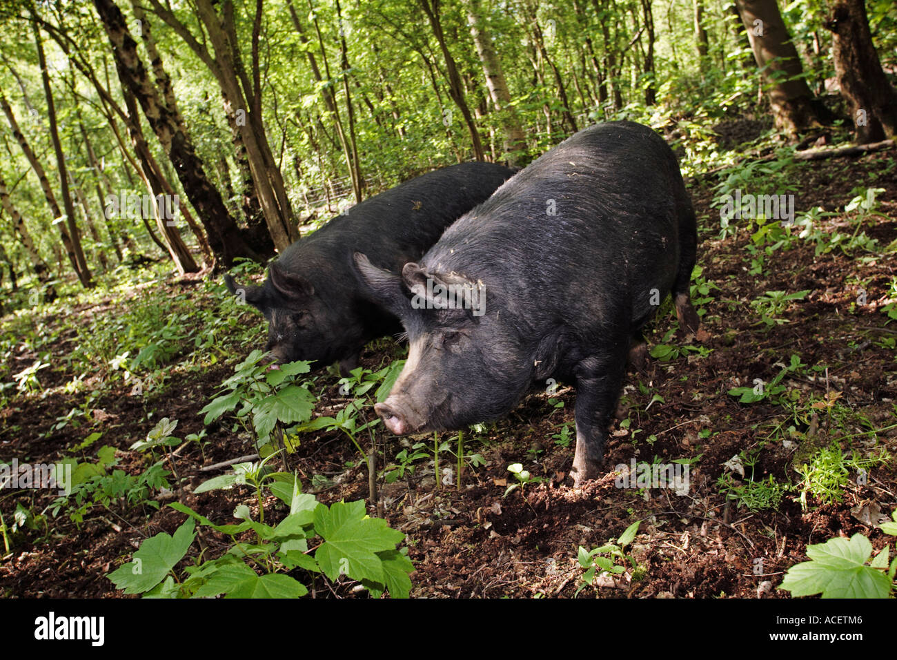 Pair of Berkshire breed pigs roaming in a woodland enclosure Yorkshire UK - Stock Image