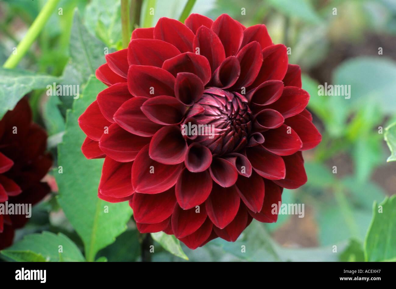 Black Dahlia Stock Photos Black Dahlia Stock Images Alamy