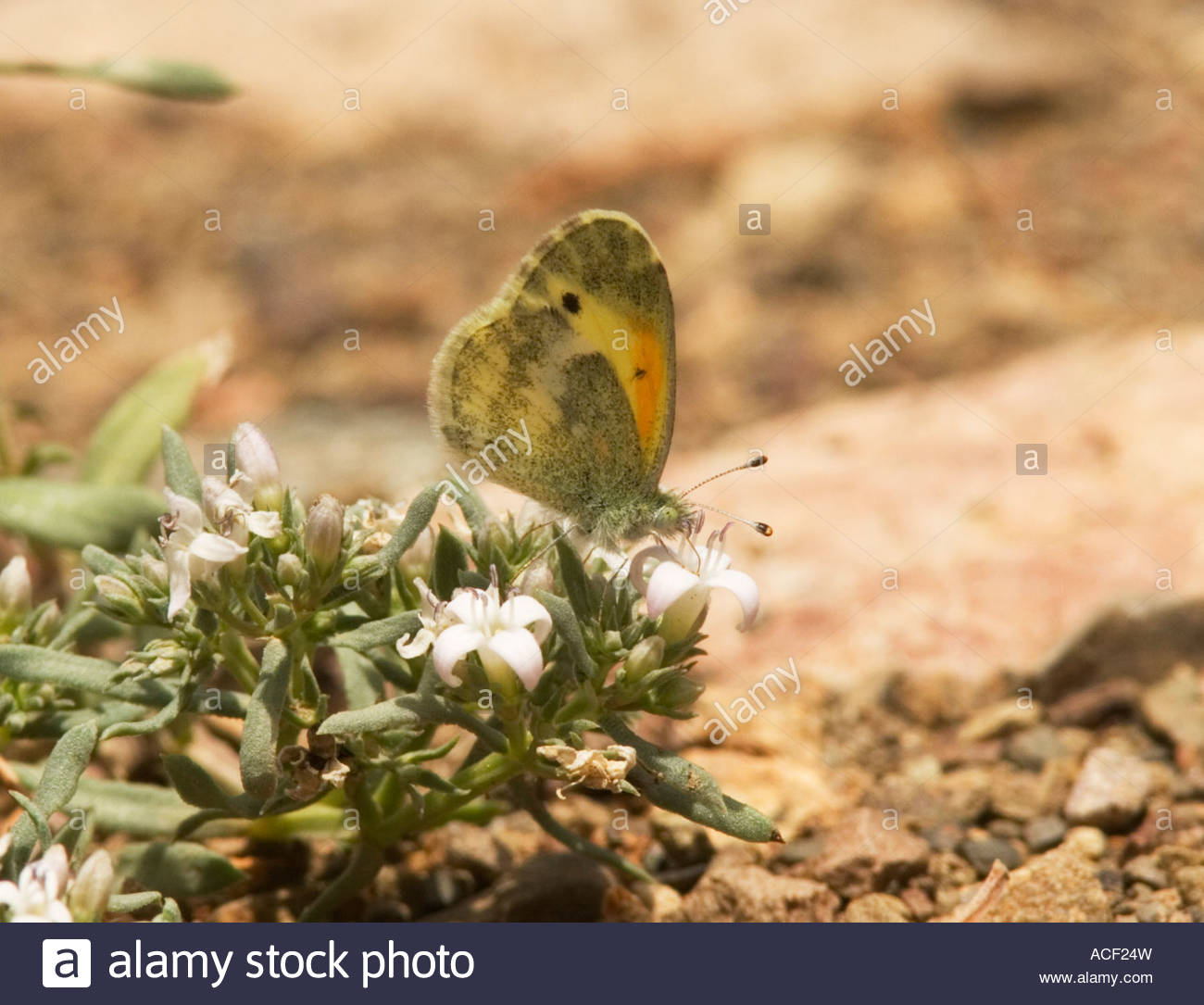 Dainty Sulphur Nathalis iole Butterfly - Stock Image