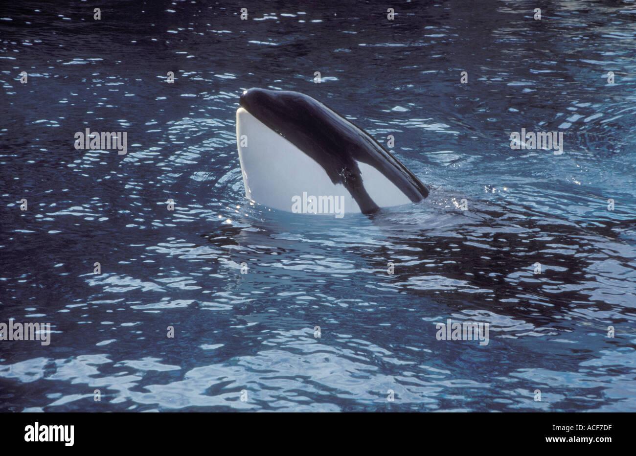 Orca whale spy hop Stock Photo