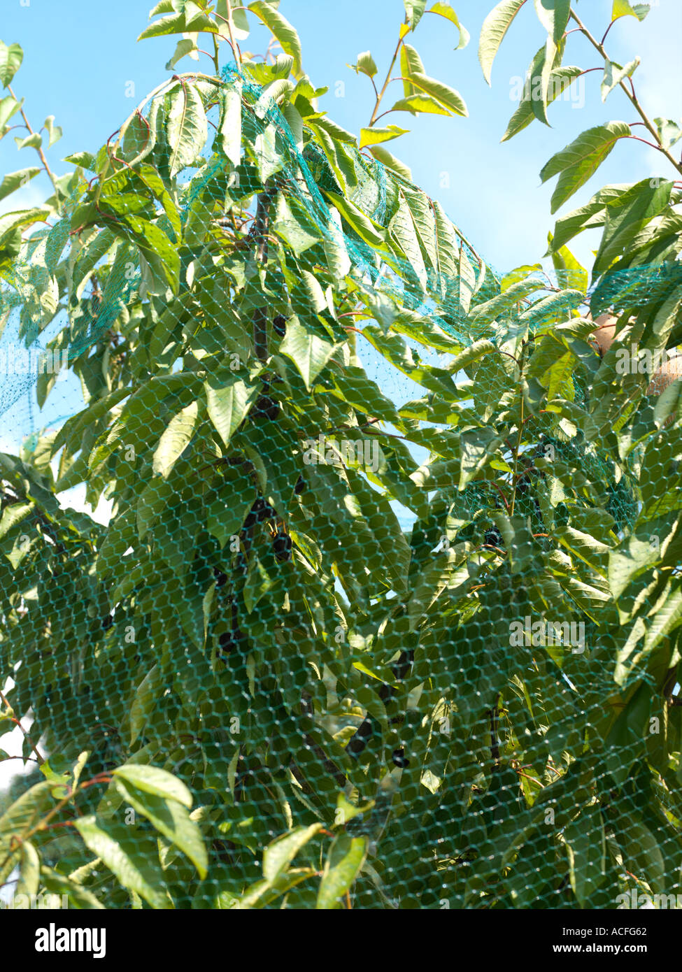 Cherry Tree with Netting to Keep Birds from Eating Cherries - Stock Image
