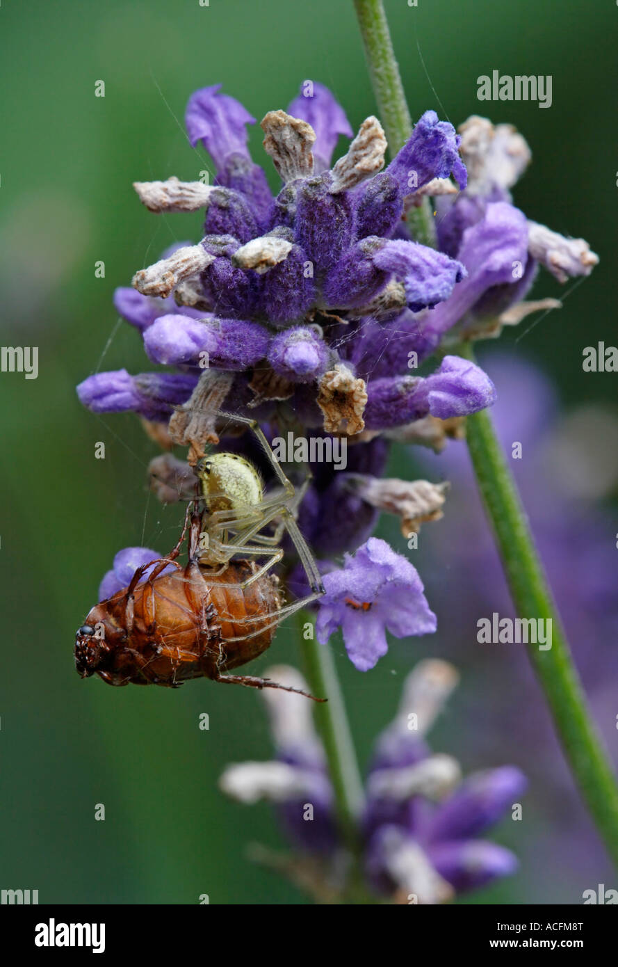 Orb spider (Enoplognatha ovata) has caught a beetle - Stock Image