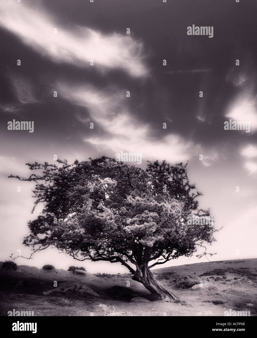 Sepia photo of a windswept tree on the moors - Stock Image