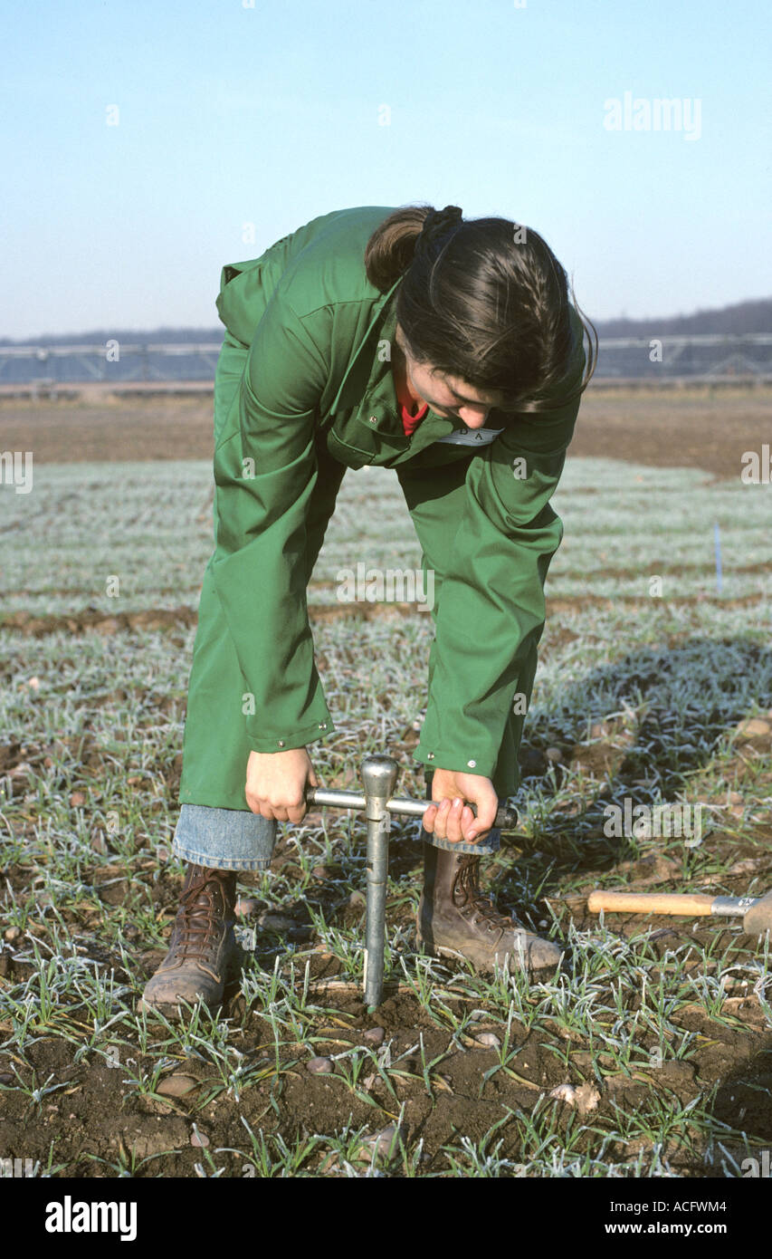 Research assistant taking manual soil core for analysis in young cereal crop - Stock Image