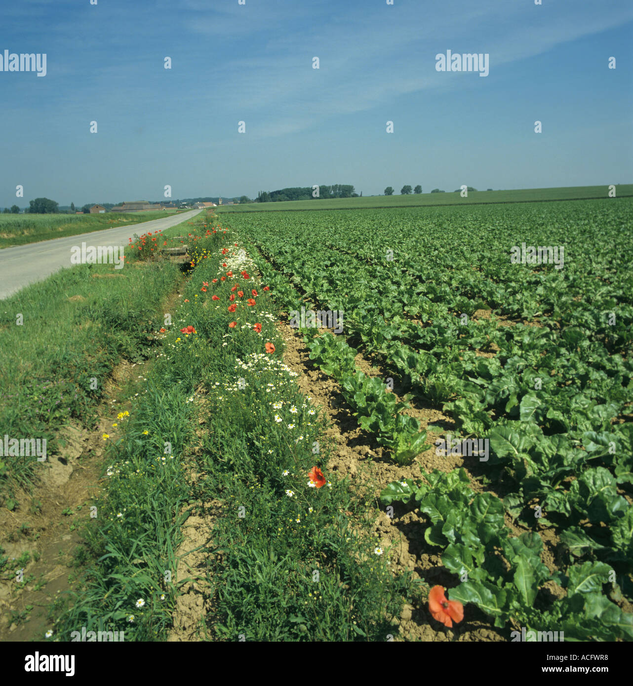 A roadside verge with flowering plants in an unsprayed strip by a sugar beet field in Belgium - Stock Image