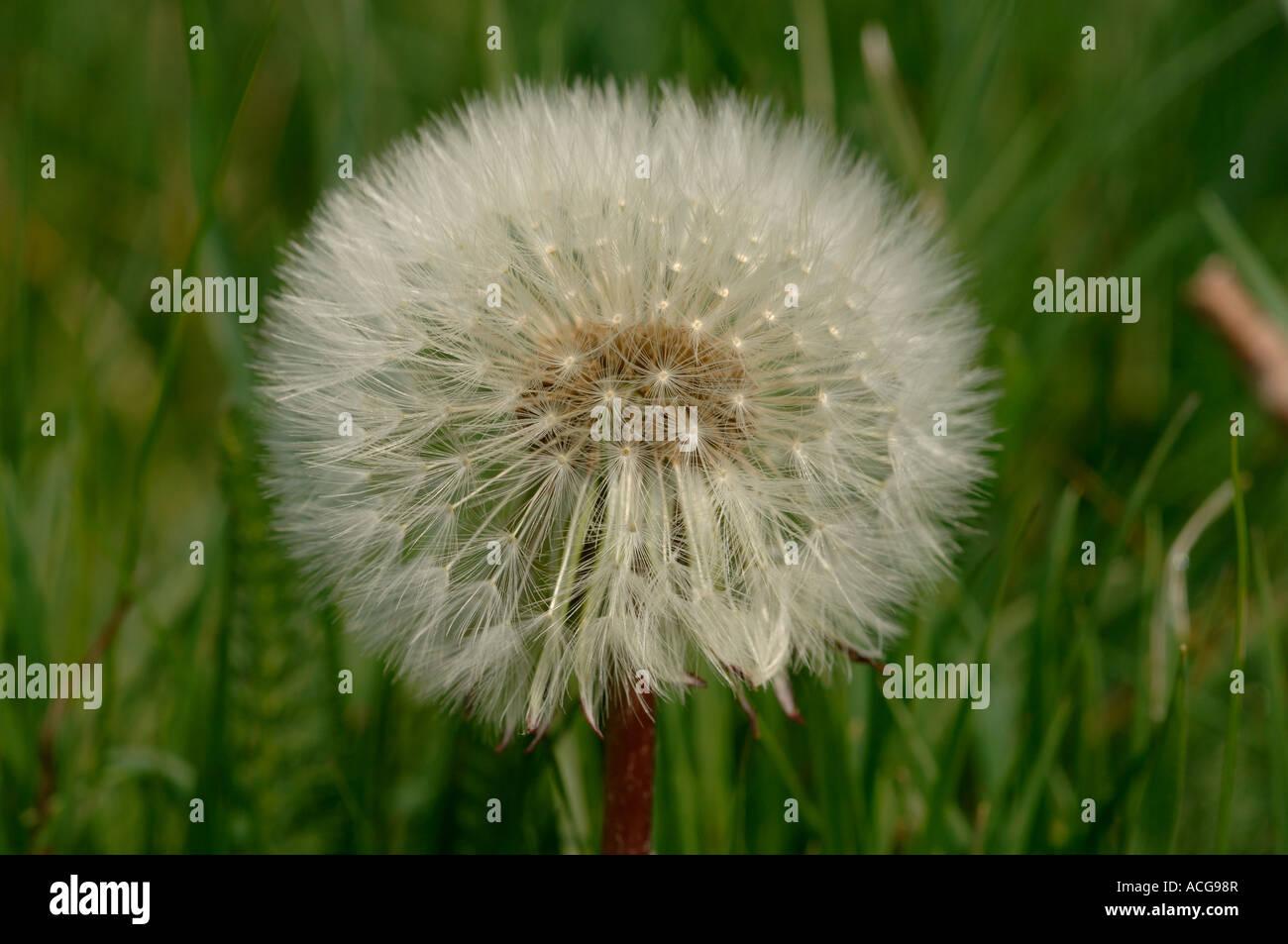 Dandelion Taraxacum officinale seedhead with grassland behind - Stock Image