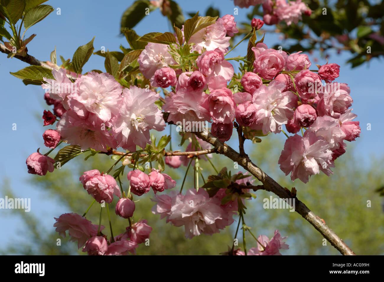 Prunus Pink Perfection flowers on an ornamental flowering cherry - Stock Image