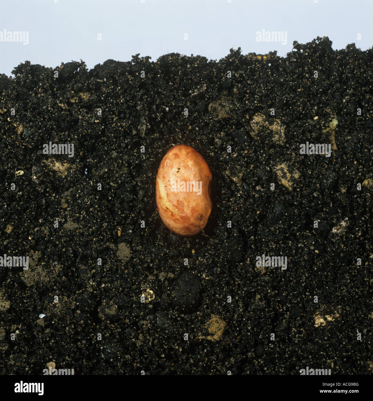 Bean seed germinating sequence seed - Stock Image