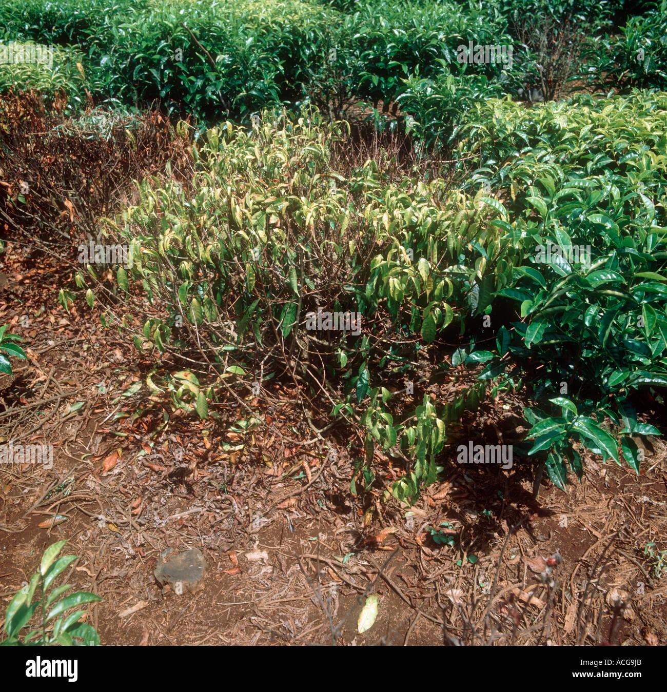 Honey fungus Armillaria mellea affecting and killing tea plant - Stock Image