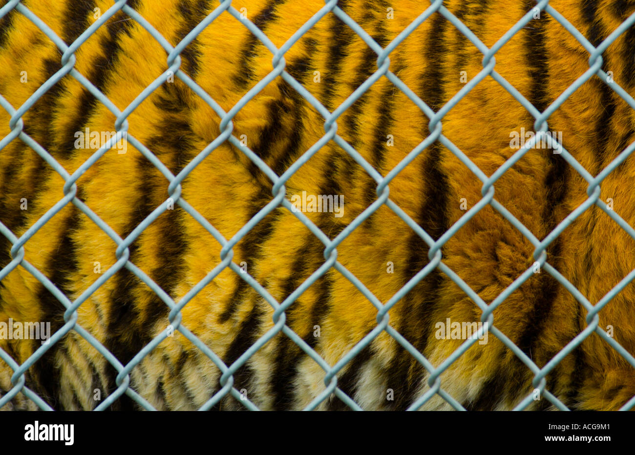 captive tiger behind chainlink fence - Stock Image