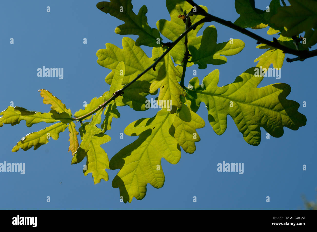 Young oak tree Quercus robur leaves backlit against against a blue spring sky - Stock Image