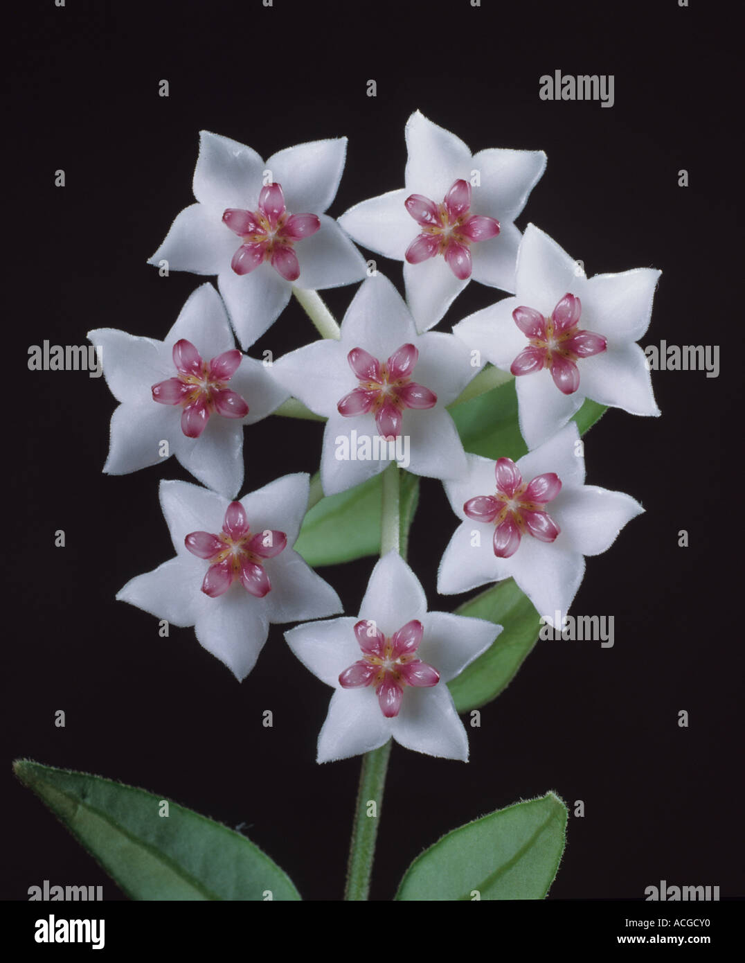 Flowers of a wax plant Hoya bella - Stock Image