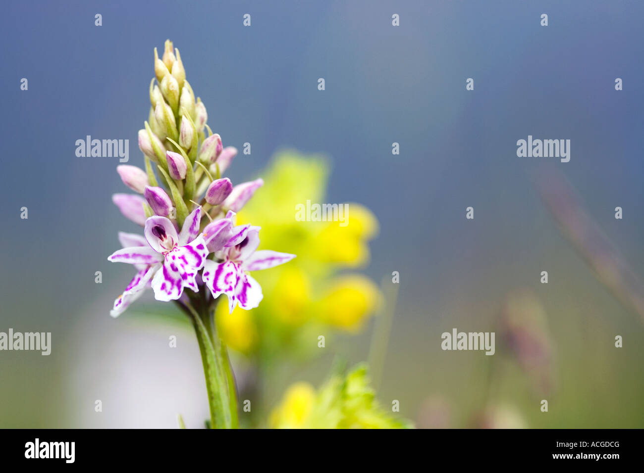 Dactylorhiza Fuchsii. Common spotted orchid in the English countryside - Stock Image