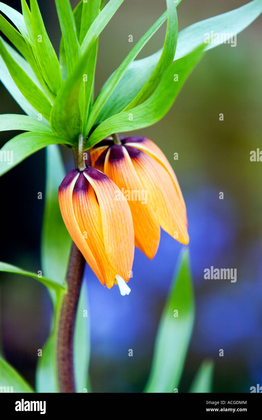 Fritillaria Imperialis Crown Imperial Flower Stock Photo 13150723