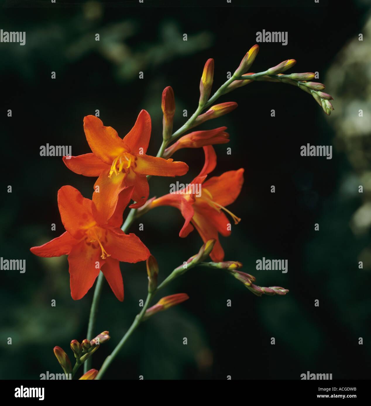 Single flower spike of orange Crocosmia Geoffrey Howard - Stock Image