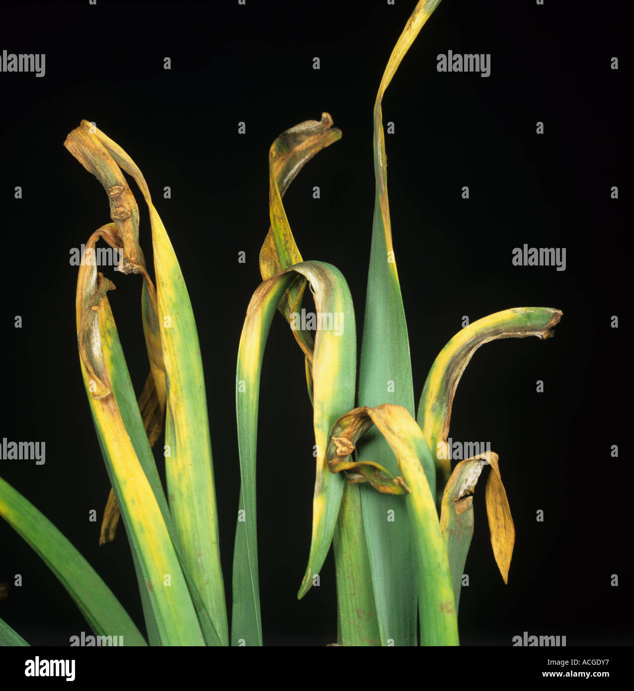 Narcissus smoulder Scelerotinia narcissicola on Narcicissus leaves - Stock Image
