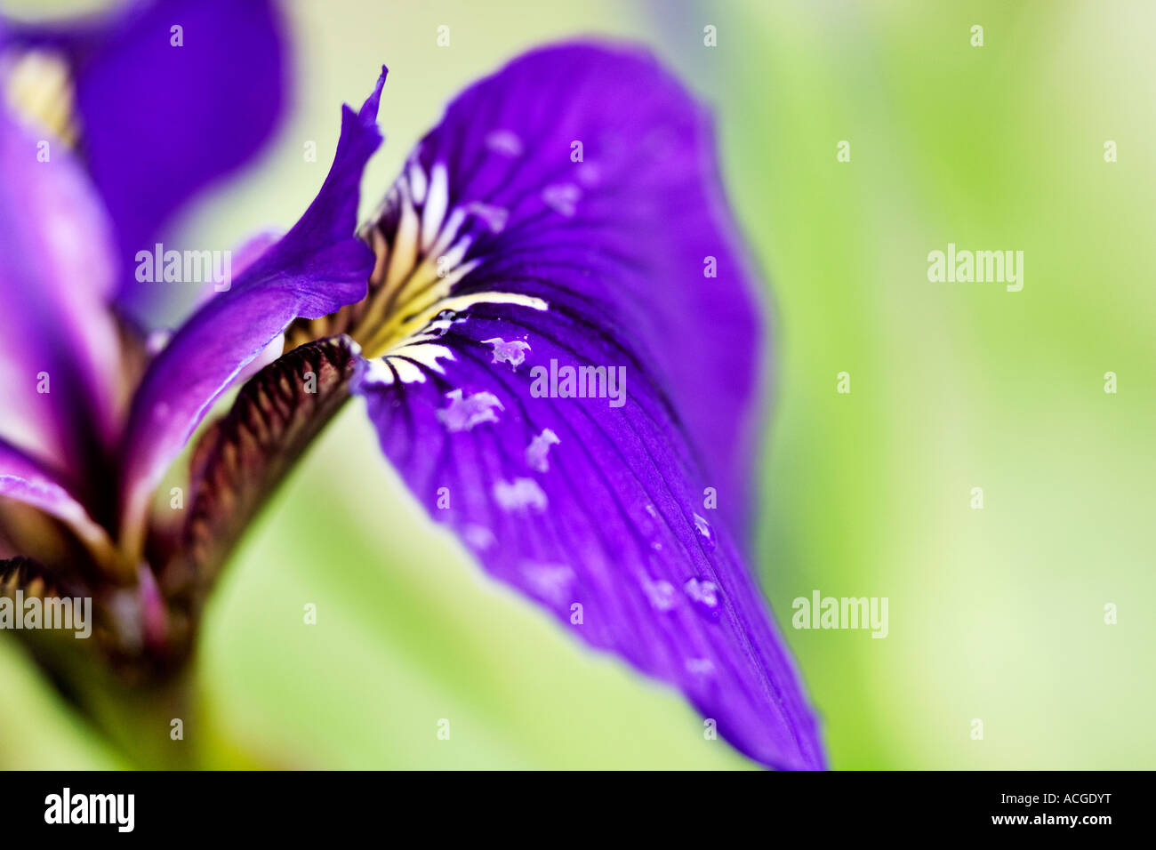 Iris sibirica siberian iris flower petals and water drops uk stock iris sibirica siberian iris flower petals and water drops uk izmirmasajfo
