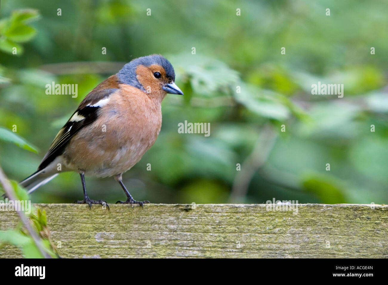 Fringilla Coelebs.  Male chaffinch sitting on a wooden fence against green blurred foliage - Stock Image