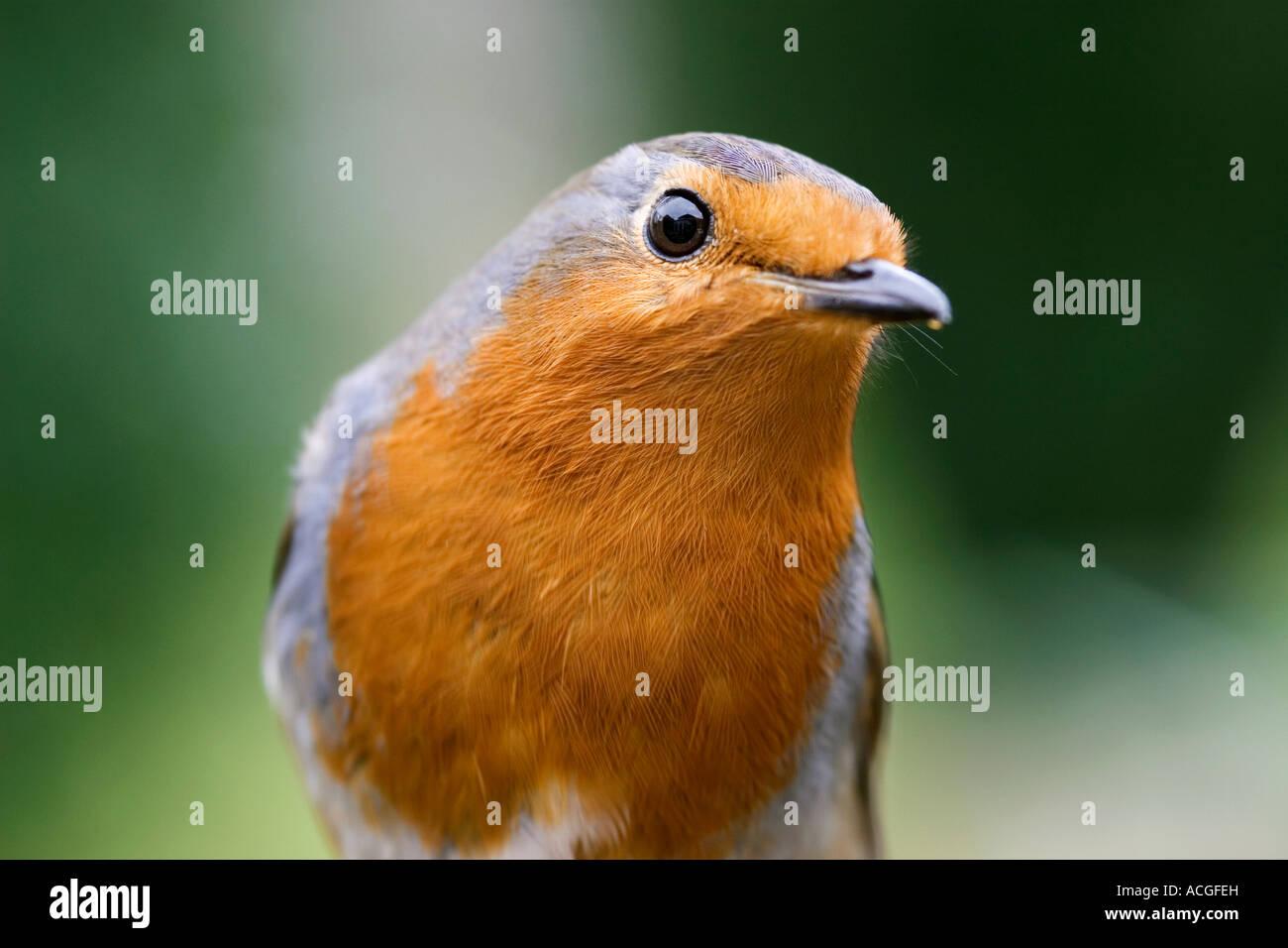 Robin redbreast close up - Stock Image