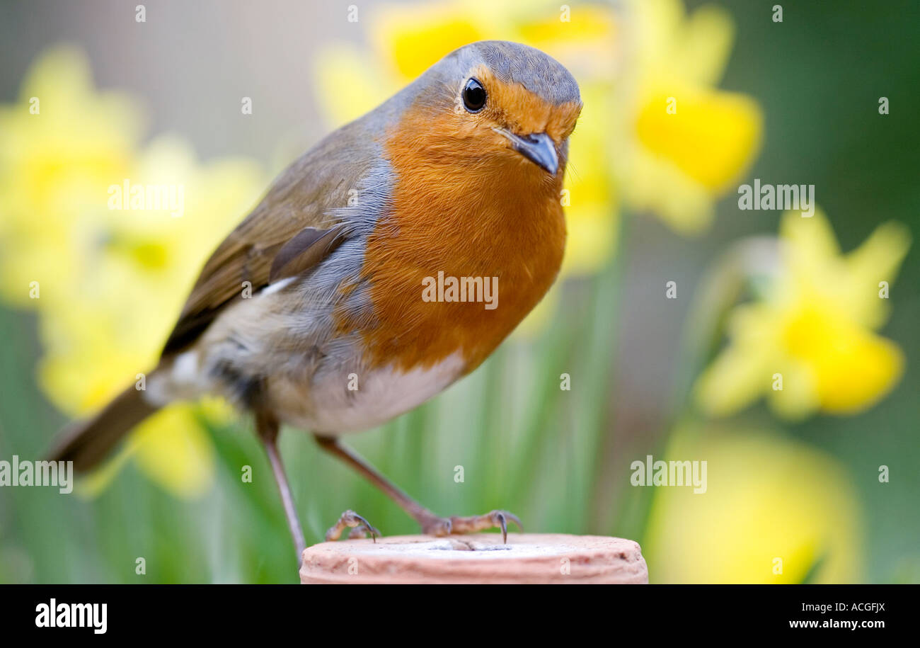 Robin redbreast sitting on a flowerpot infront of a clump of Stock Photo -  Alamy