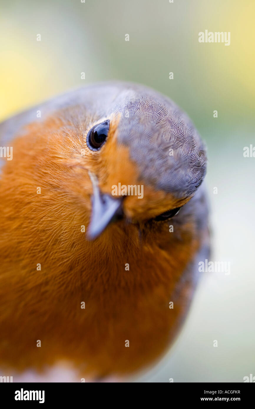 Robin redbreast close up in an English garden - Stock Image