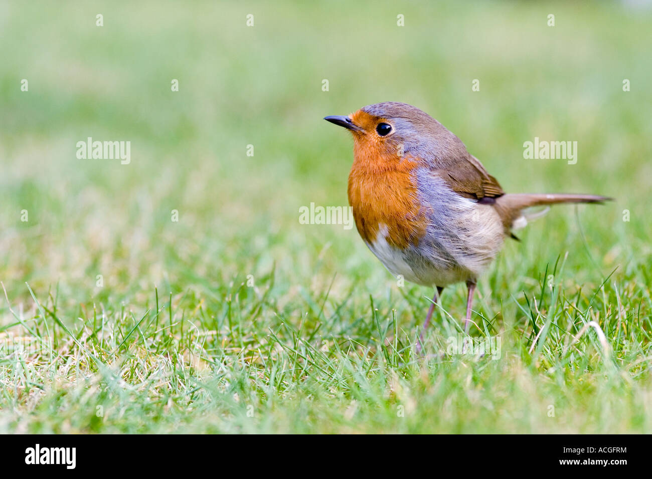 Robin redbreast on a lawn in an English garden - Stock Image