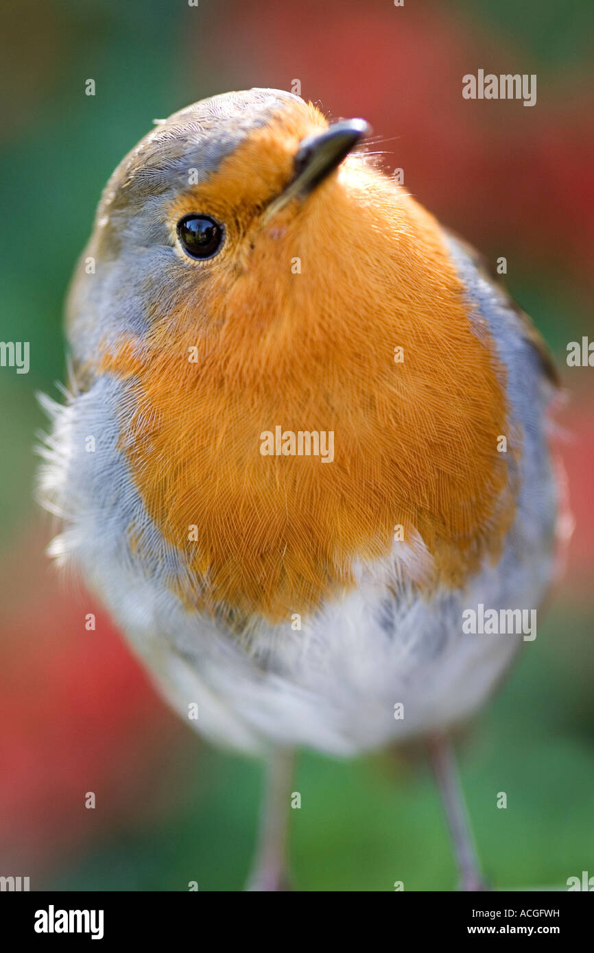 Close up of a Robin Redbreast - Stock Image
