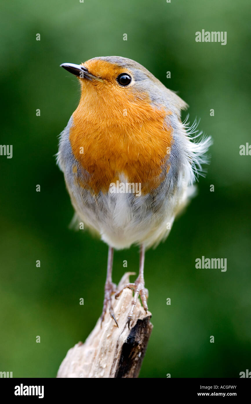 Robin redbreast perched on a piece of wood against a green background - Stock Image