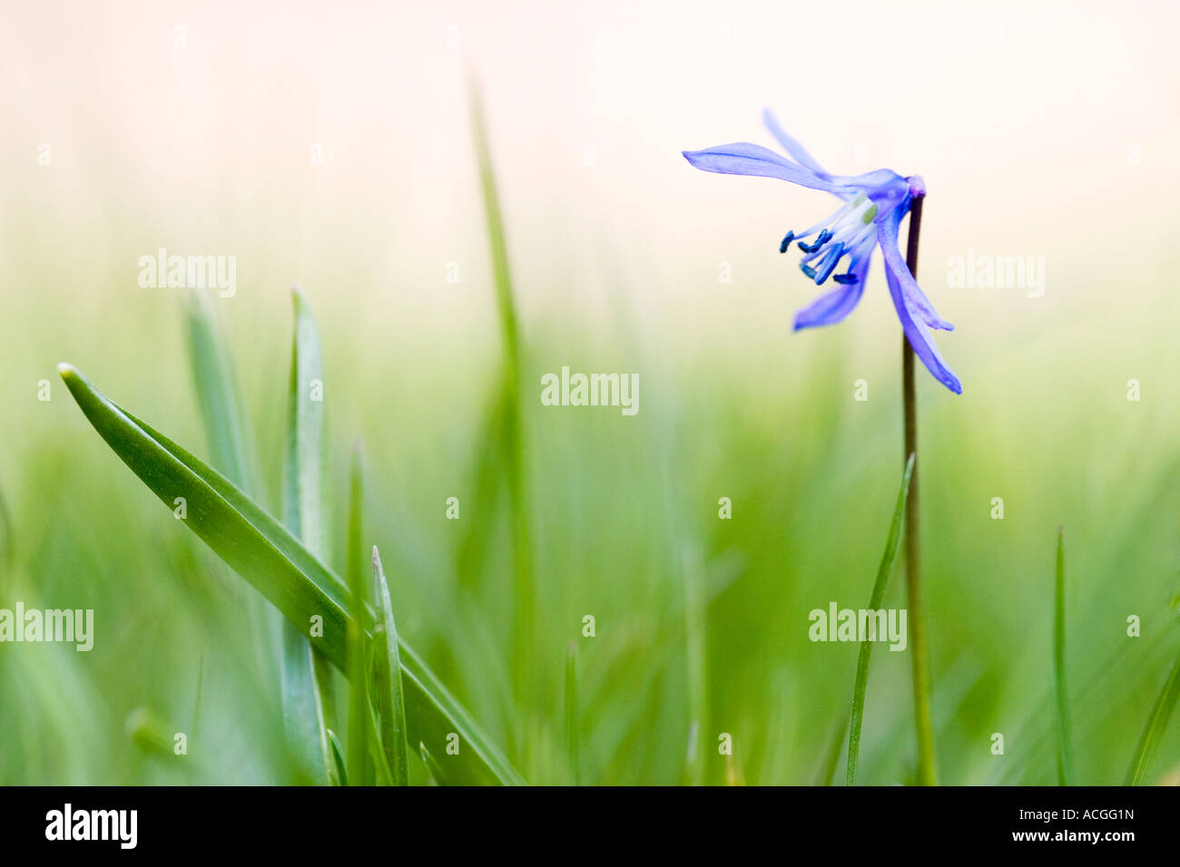 Scilla siberica. Siberian squill flower in amongst grass against a hazy green background - Stock Image