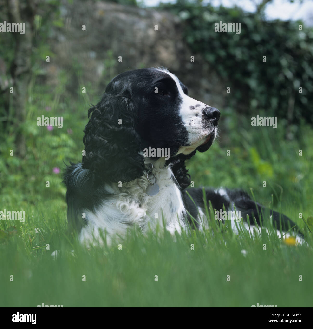 Close up of the head of a black white springer spaniel lying down - Stock Image