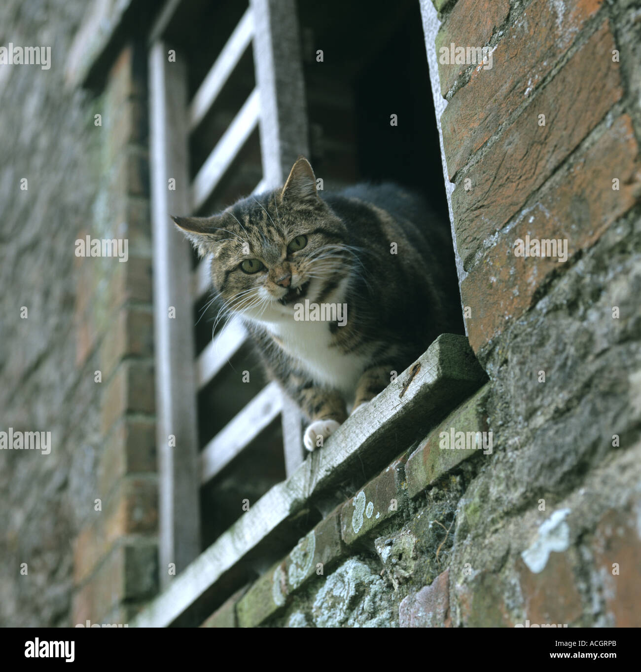 Adult tabby coloured farm cat at barn window mouth open - Stock Image