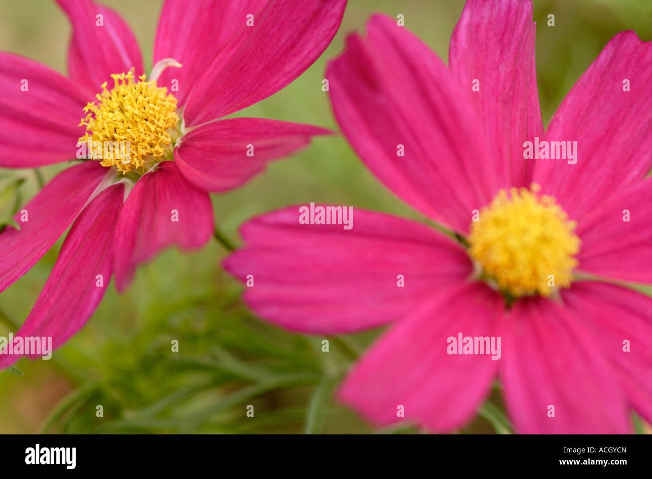 Cosmos bipinnatus 'sensation pink' flowers close up - Stock Image