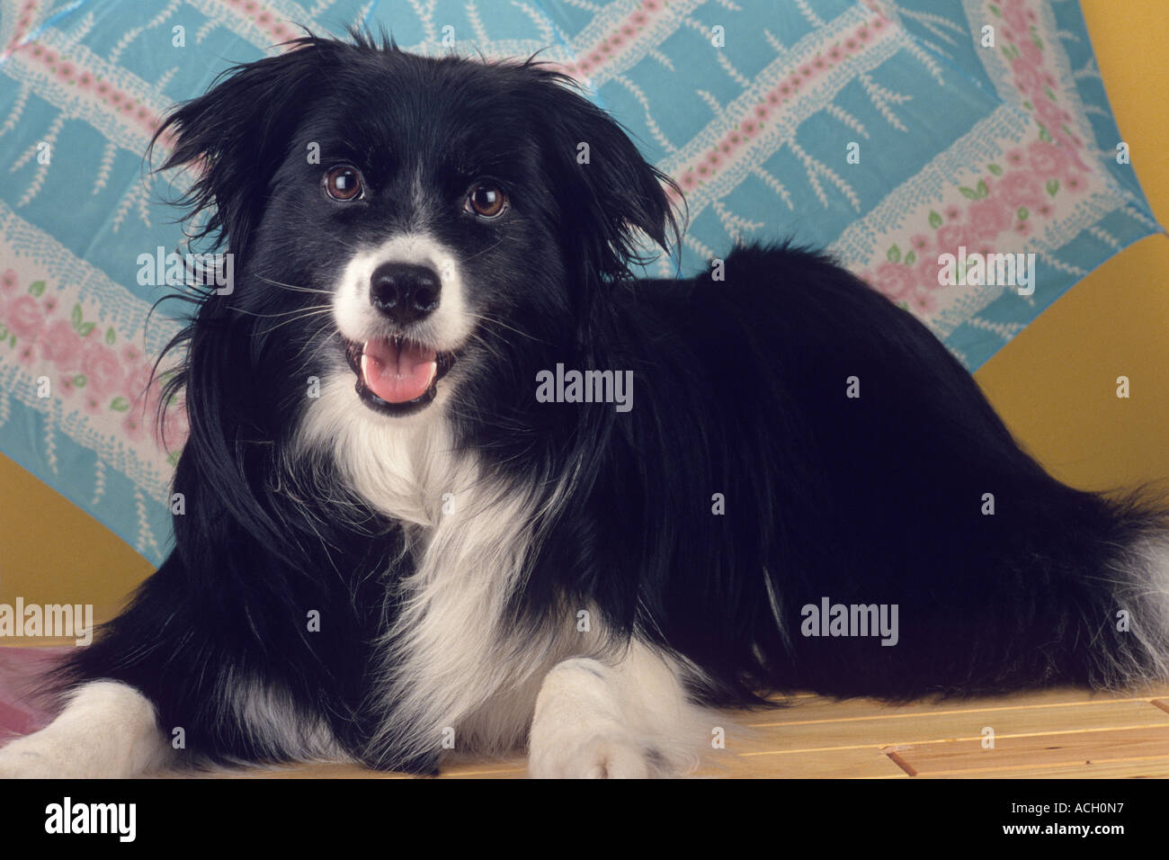 Stock Photo Dog Mixed Breed Pomeranian Border Collie Cross Smiling
