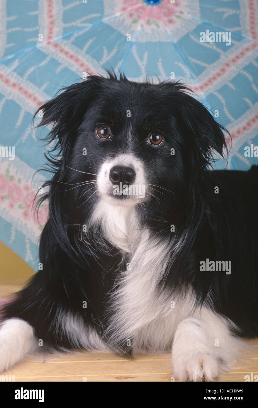 Stock Photo Dog Mixed Breed Pomeranian Border Collie Cross Pr 198