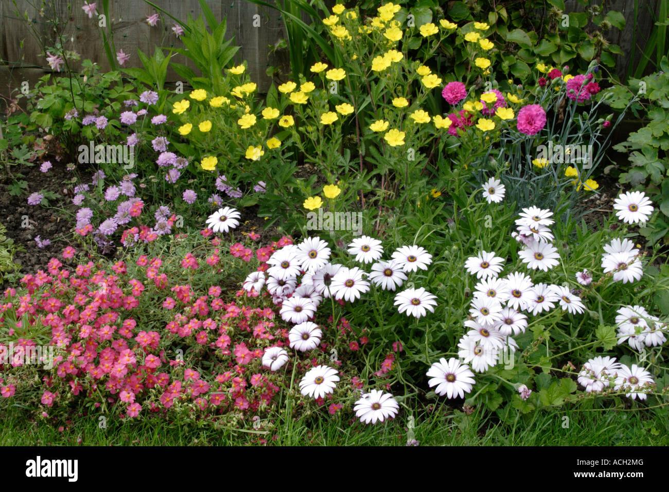 Cottage Garden Flower Bed With White Osteospermum, England, UK