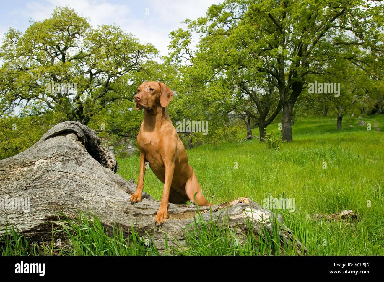 Vizsla purebred dog - Stock Image