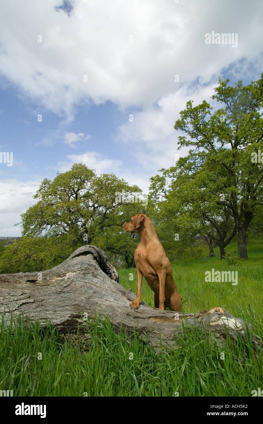 Vizla purebred dog - Stock Image