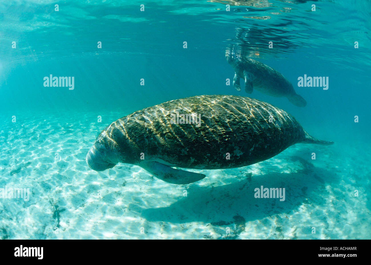 West Indian Manatee Mother and calf Trichechus manatus latirostris USA Florida FL Crystal River - Stock Image